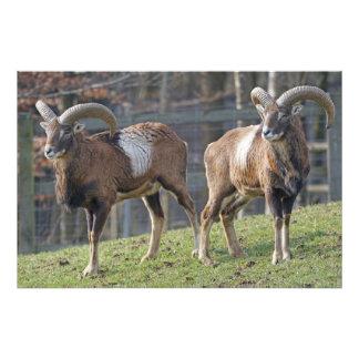 Mouflon Photo Art