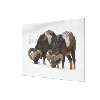Mouflons in Winter, Germany Canvas Print