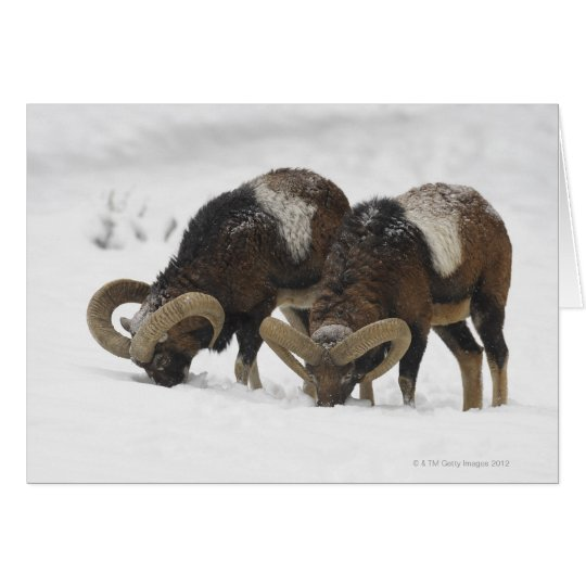 Mouflons in Winter, Germany Card