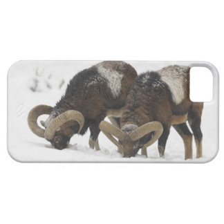 Mouflons in Winter, Germany iPhone 5 Cases