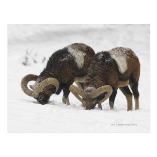 Mouflons in Winter, Germany Postcard