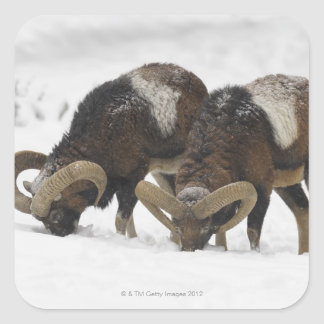 Mouflons in Winter, Germany Square Sticker