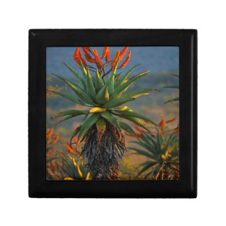 Mountain Aloe (Aloe Marlothii Berger) 2 Small Square Gift Box