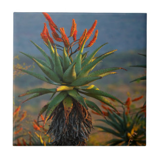 Mountain Aloe (Aloe Marlothii Berger) 2 Tile