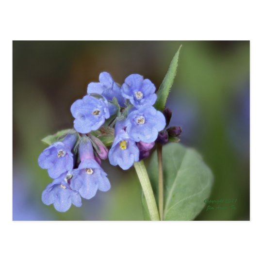 Mountain Bluebell Postcard #1