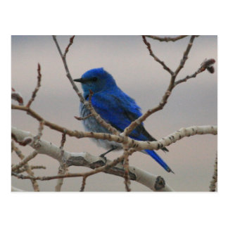 Mountain Bluebird Postcard