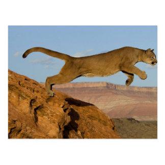 Mountain Cougar Postcard