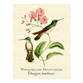 Mountain Gem Hummingbird Vintage Art Postcard