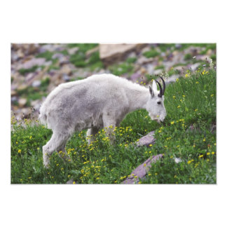 Mountain Goat, Oreamnos americanus, adult with 2 Art Photo