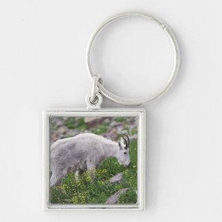 Mountain Goat, Oreamnos americanus, adult with 2 Key Ring