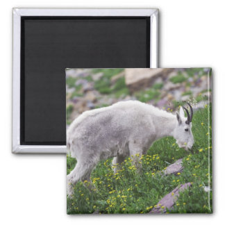 Mountain Goat, Oreamnos americanus, adult with 2 Magnet