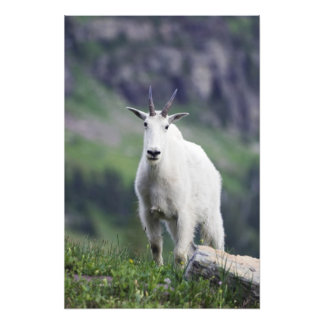 Mountain Goat, Oreamnos americanus, adult with Photographic Print