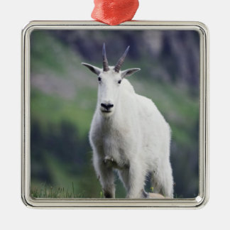 Mountain Goat, Oreamnos americanus, adult with Silver-Colored Square Decoration