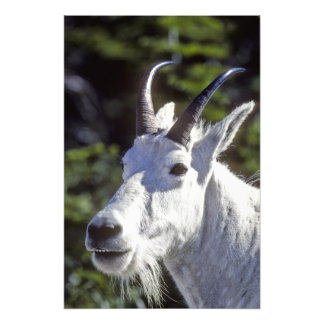 Mountain Goat, Oreamnos americanus, In Glacier Photo
