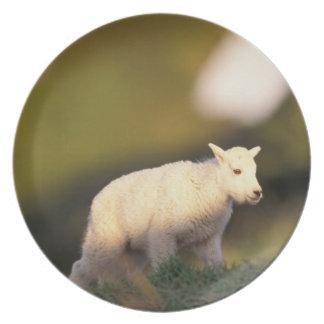 mountain goat, Oreamnos americanus, kid on a 2 Dinner Plate