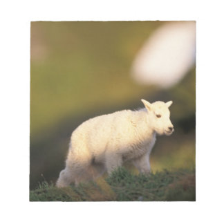 mountain goat, Oreamnos americanus, kid on a 2 Notepads