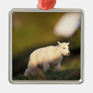 mountain goat, Oreamnos americanus, kid on a 2 Silver-Colored Square Decoration