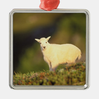 mountain goat, Oreamnos americanus, kid on a Christmas Ornament
