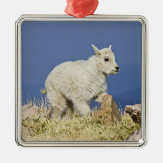 Mountain Goat (Oreamnos americanus) kid or baby Silver-Colored Square Decoration