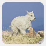Mountain Goat (Oreamnos americanus) kid or baby Square Sticker