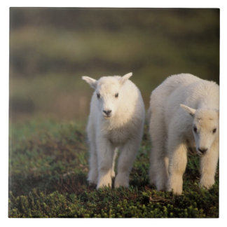 mountain goat, Oreamnos americanus, pair of Large Square Tile