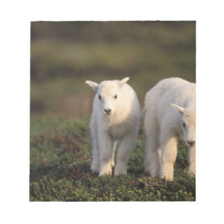 mountain goat, Oreamnos americanus, pair of Notepad