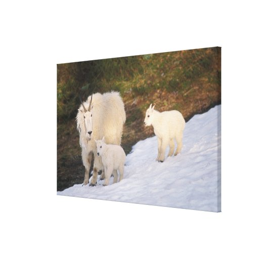 mountain goats, Oreamnos americanus, mother and Canvas Prints