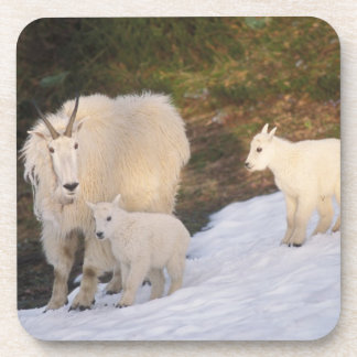 mountain goats, Oreamnos americanus, mother and Drink Coaster