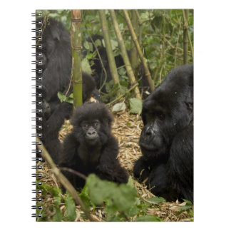 Mountain Gorilla, adult with young 2 Notebooks