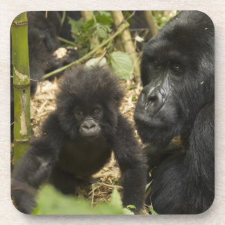 Mountain Gorilla, adult with young Coaster