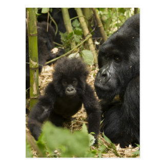 Mountain Gorilla, adult with young Postcard