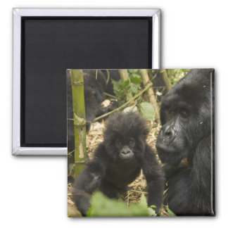 Mountain Gorilla, adult with young Square Magnet