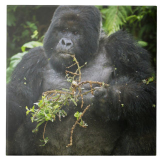 Mountain Gorilla and aging Silverback 2 Large Square Tile