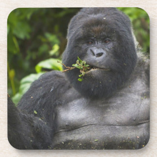 Mountain Gorilla and aging Silverback Beverage Coasters