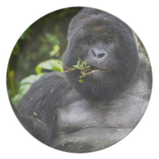 Mountain Gorilla and aging Silverback Plate