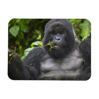 Mountain Gorilla and aging Silverback Rectangular Photo Magnet