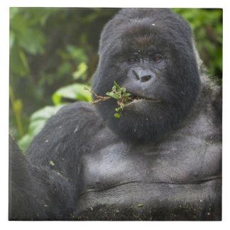Mountain Gorilla and aging Silverback Tile
