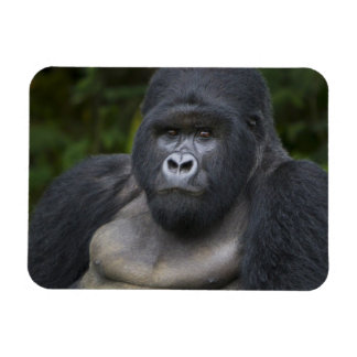 Mountain Gorilla and Silverback 4 Magnet