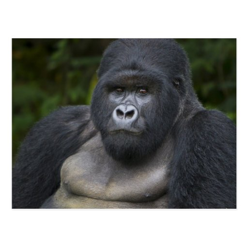 Mountain Gorilla and Silverback 4 Post Cards