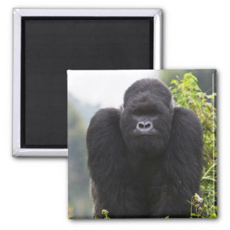 Mountain Gorilla and Silverback Magnet