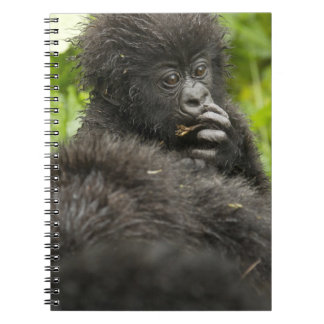 Mountain Gorilla, baby riding on mothers back Notebook