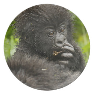 Mountain Gorilla, baby riding on mothers back Plate
