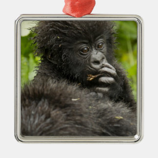 Mountain Gorilla, baby riding on mothers back Silver-Colored Square Decoration