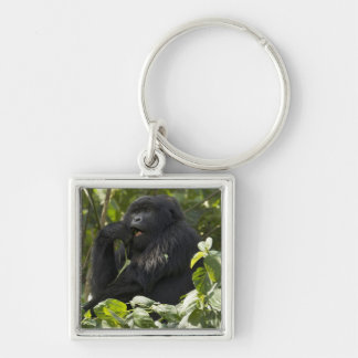 Mountain Gorilla, blackback, eating Key Ring