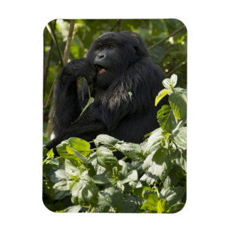 Mountain Gorilla, blackback, eating Magnet
