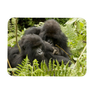 Mountain Gorilla, family in day nest Magnet