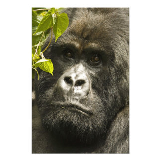 Mountain Gorilla, Gorilla beringei beringei, Photo Print