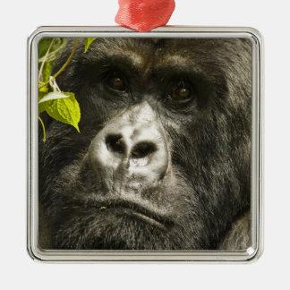 Mountain Gorilla, Gorilla beringei beringei, Silver-Colored Square Decoration