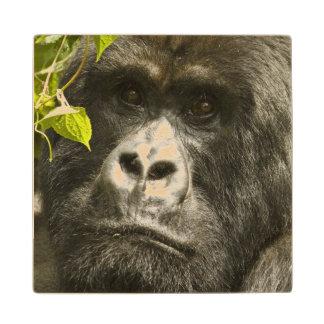 Mountain Gorilla, Gorilla beringei beringei, Wood Coaster