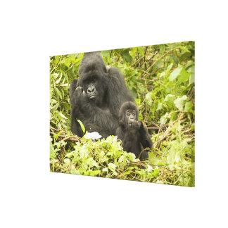 Mountain Gorilla, Gorilla beringei (formerly G. Canvas Print